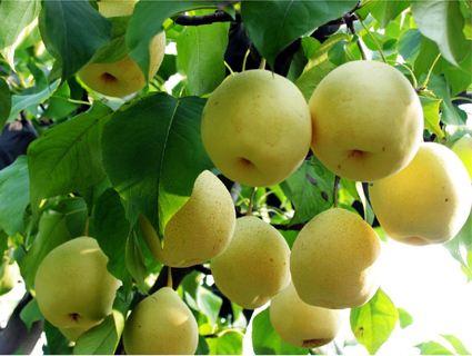 枝农黄金梨