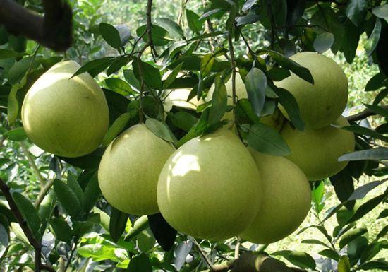 琯溪蜜柚-枝农蜜柚