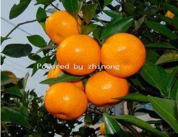 宜昌柑橘-枝农柑橘-国庆1号
