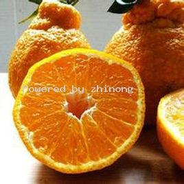 宜昌柑橘-枝农柑橘-不知火