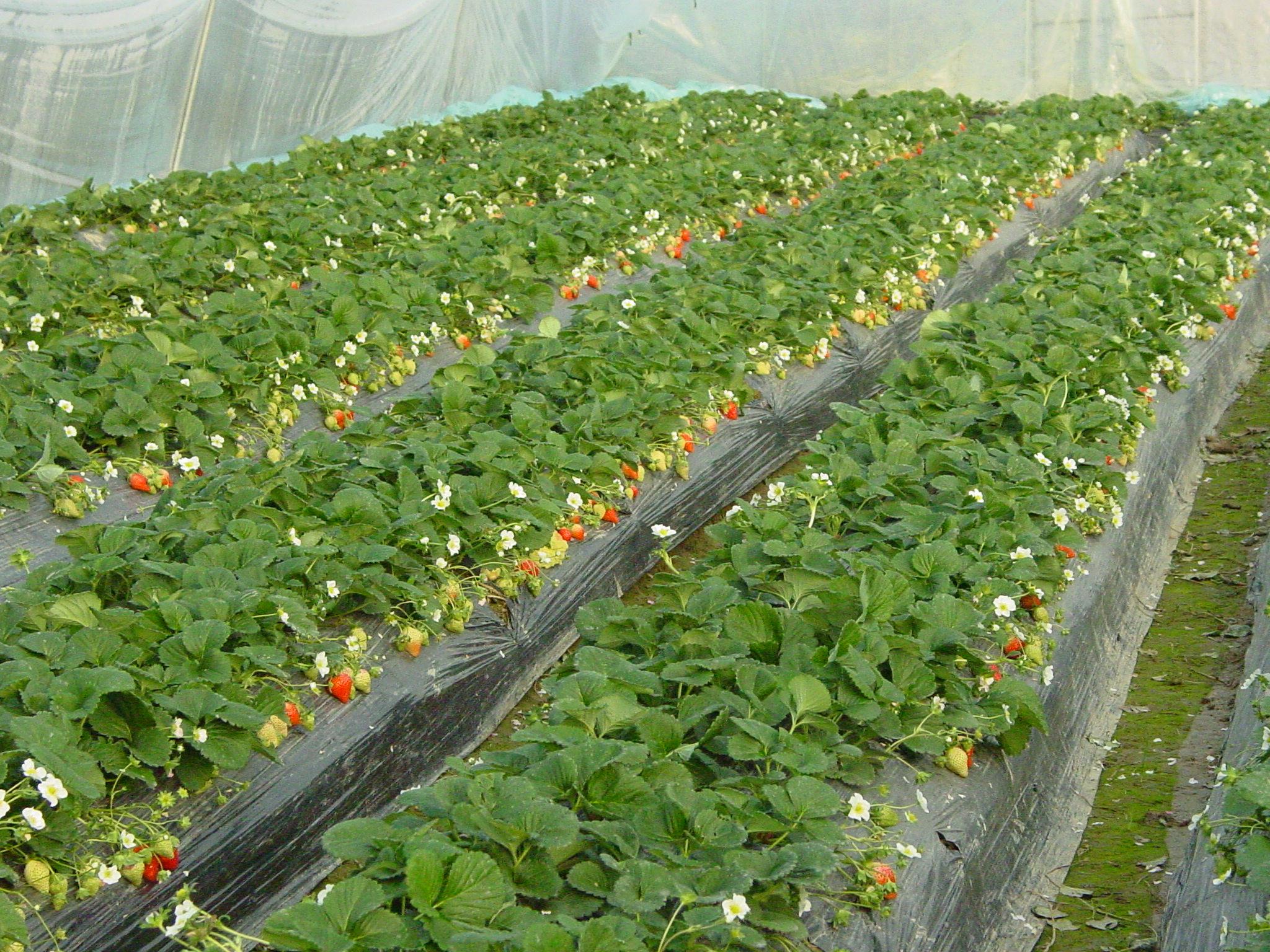 枝农法兰地草莓