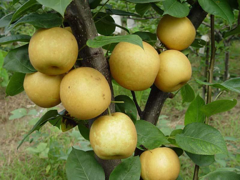 枝农翠冠梨