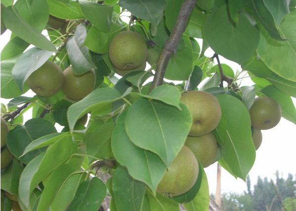 枝农黄花梨