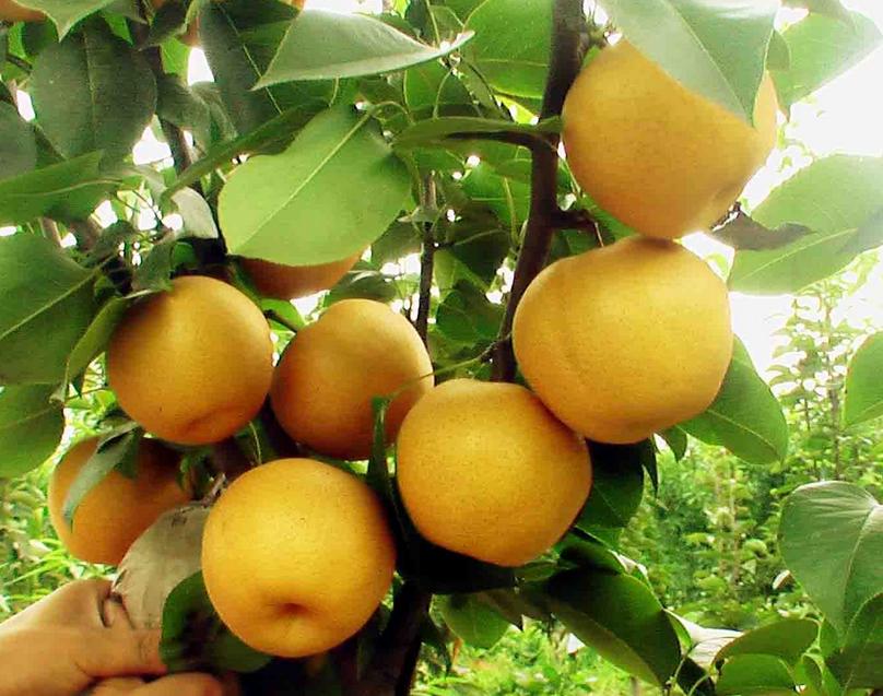 枝农圆黄梨